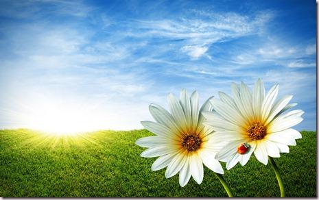 spring-daisy-field-flowers-grass-lady-bug-nature-sunshine