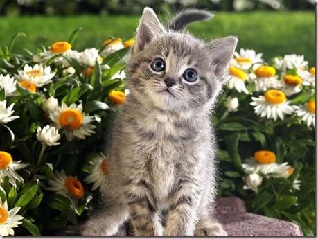 Tabby Kitten and Spring Flowers